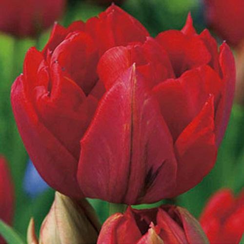coltivare i Tulipani - Tulipano abba