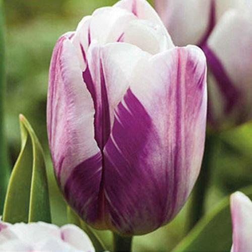 coltivare i Tulipani - Tulipano flaming flag