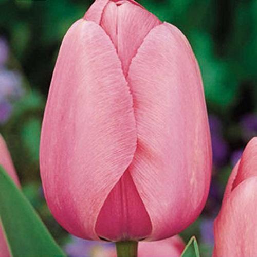 coltivare i Tulipani - Tulipano pink impression