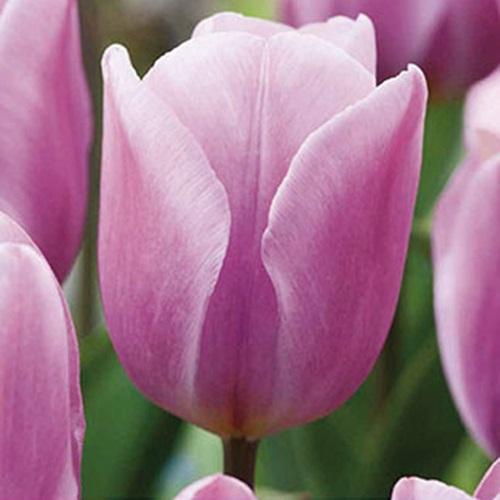 coltivare i Tulipani - Tulipano synaeda amor