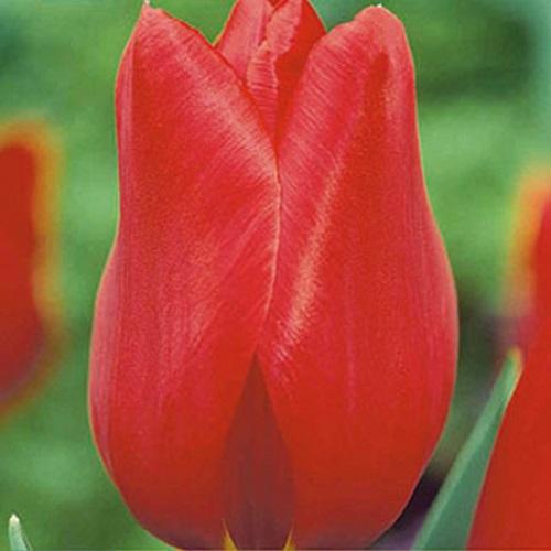 coltivare i Tulipani - Tulipano tardivo kingblood