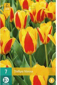 tulipano_kaufmaniana_stresa