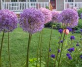 coltivare gli Allium