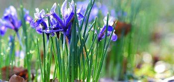 coltivare gli Iris