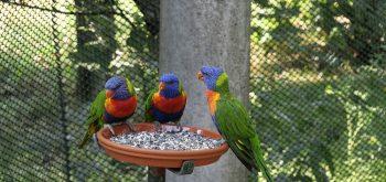 alimentare i pappagalli