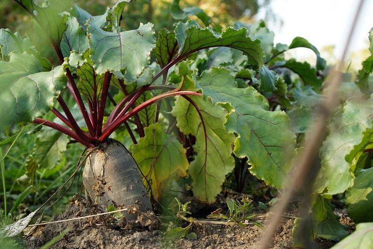 coltivare la Bietola da orto