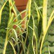 coltivare la Sansevieria
