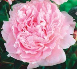 coltivare le peonie - Peonia Sarah Bernhardt
