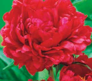 coltivare le peonie - Peonia red magic