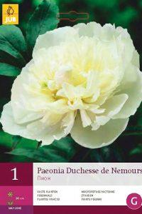 peonia duchesse de nemours