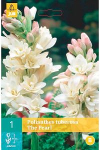 polianthes_tuberosa_the_pearl