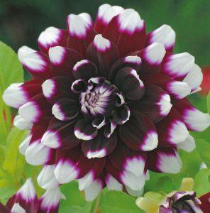 Coltivare le Dalie - dahlia_mystery_Day