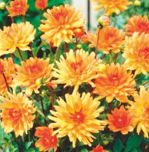 Coltivare le Dalie - dahlia_orange_pigmy