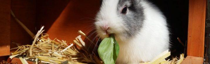 allevare i conigli nani