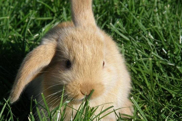 allevare i conigli nani - Coniglio nano ariete