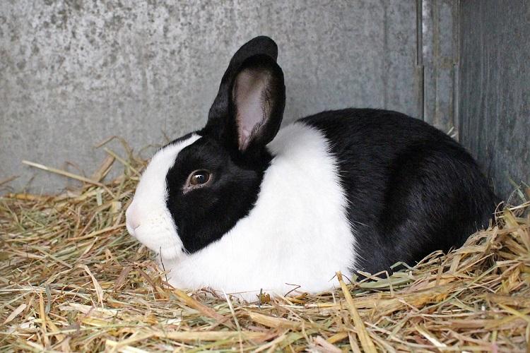 allevare i conigli nani - Coniglio olandese nano