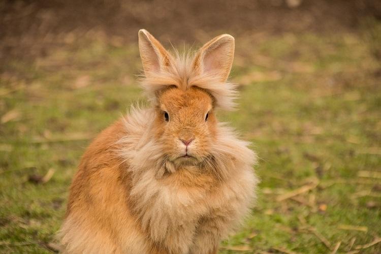 allevare i conigli nani - Coniglio testa di leone