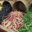 coltivare i Fagioli nani