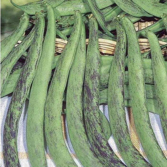 coltivare i Fagioli nani - Fagiolo Nano Bobis dAlbenga-Mangiatutto