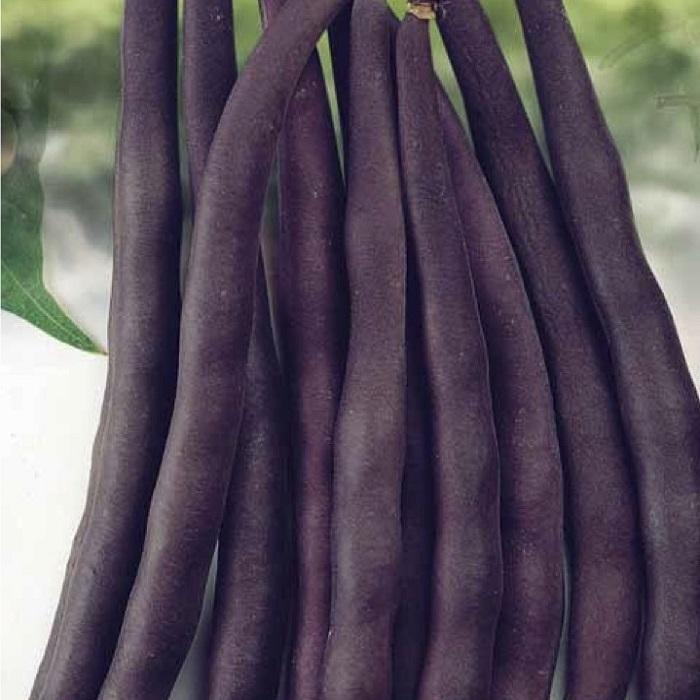 coltivare i Fagioli nani - Fagiolo Nano Purple Queen Mangiatutto