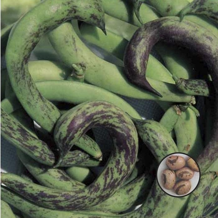 coltivare i Fagioli nani - Fagiolo nano Anellino di Trento