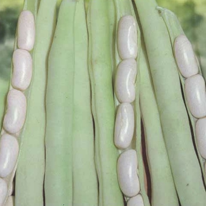 coltivare i Fagioli nani - Fagiolo nano Canellino