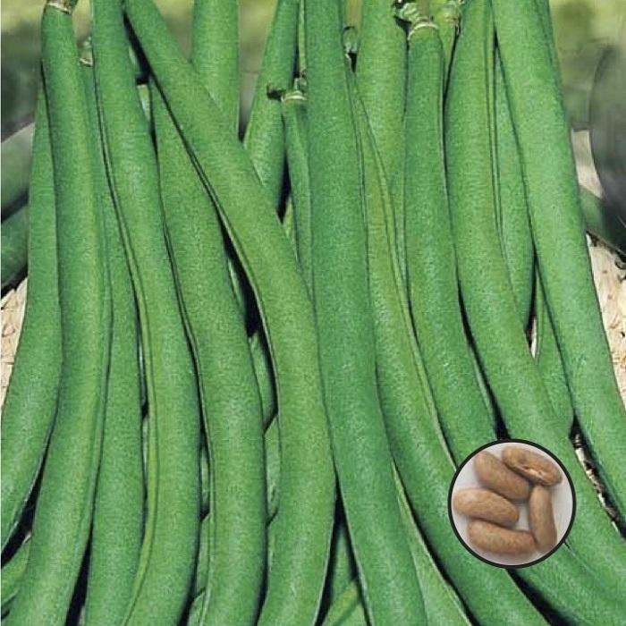 coltivare i Fagioli nani - Fagiolo nano Contender