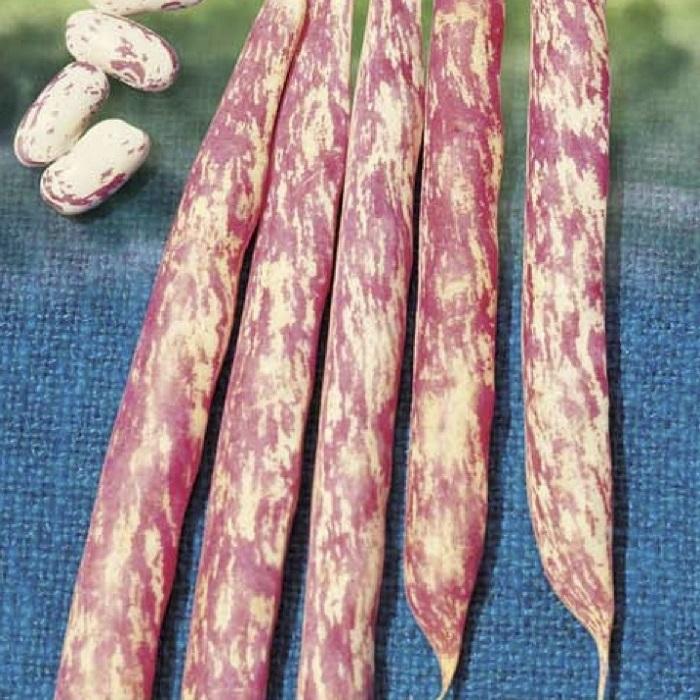 coltivare i Fagioli nani - Fagiolo nano Saluggia