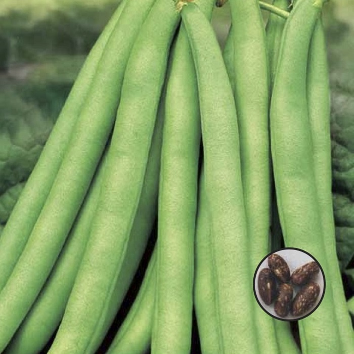 coltivare i Fagioli nani - Fagiolo nano Topcrop