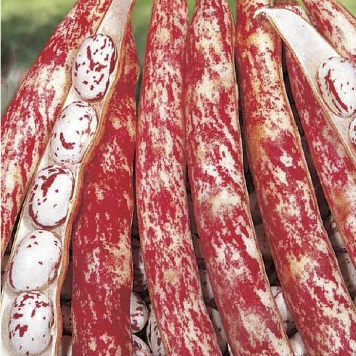 coltivare i Fagioli nani - Fagiolo nano borlotto lingua di fuoco - sgranare