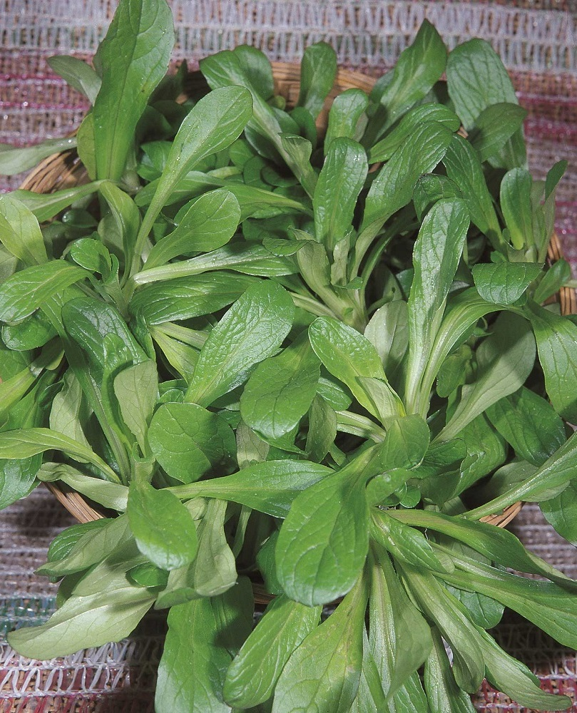 coltivare la valeriana - Valeriana D'Olanda Seme Grosso