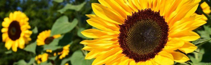 fiori di colore giallo