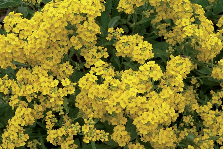 fiori di colore giallo - Alisso Nano Giallo