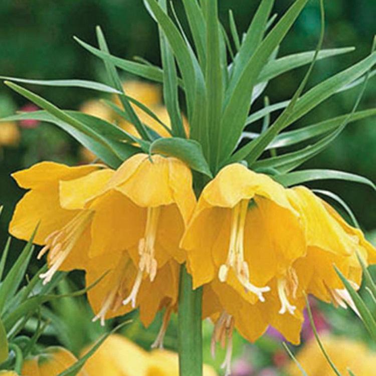 fiori di colore giallo - Fritillaria Lutea