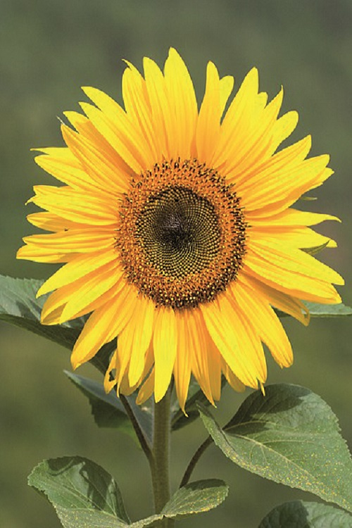 fiori di colore giallo - Girasole alto
