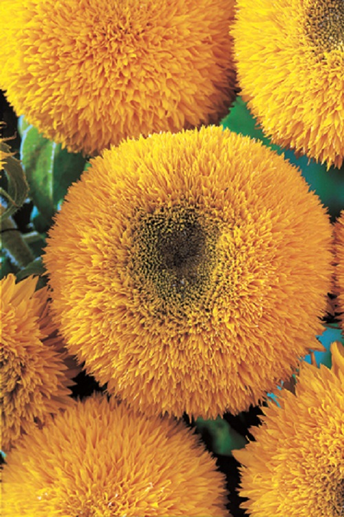 fiori di colore giallo - Girasole nano doppio