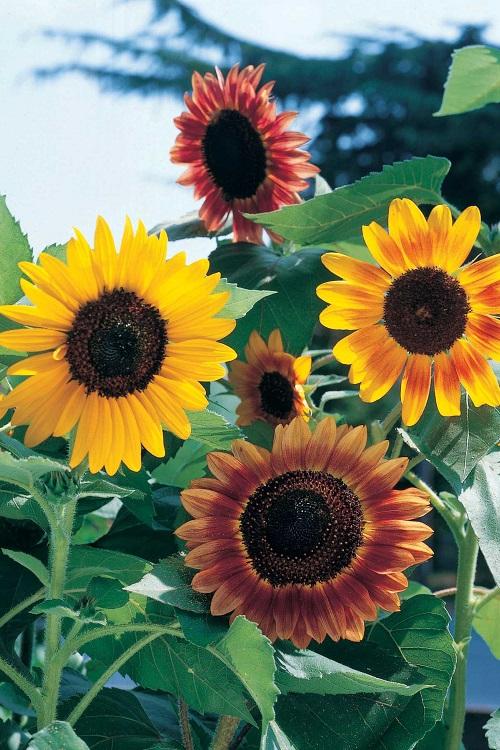 fiori di colore giallo - Girasole nano semplice