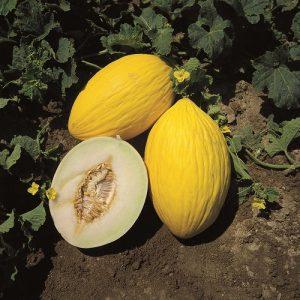 fiori di colore giallo - Melone Rugoso di Cosenza Giallo
