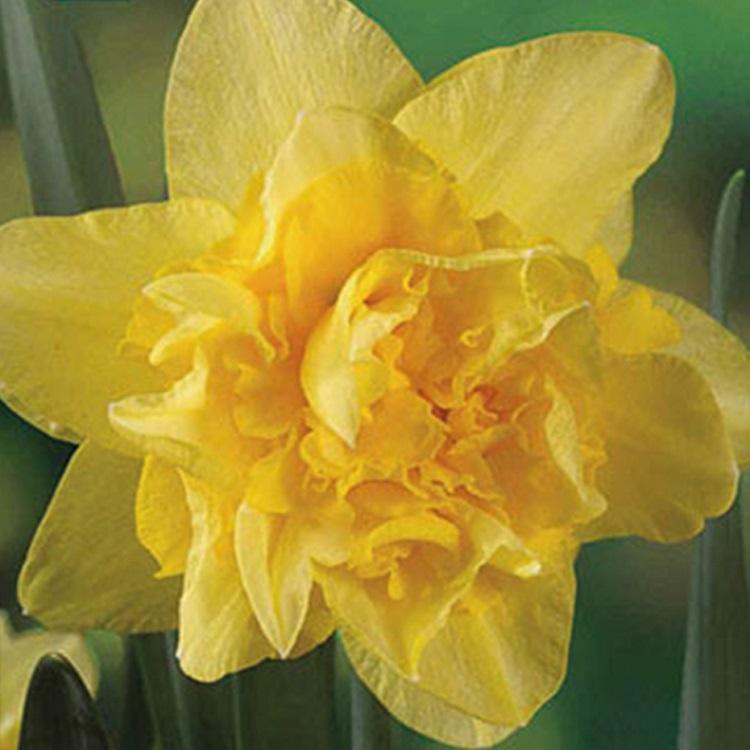 fiori di colore giallo - Narciso doppio golden ducat