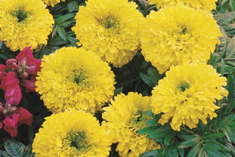 fiori di colore giallo - Tagete