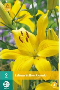 lilium_asiatico_yellow_county