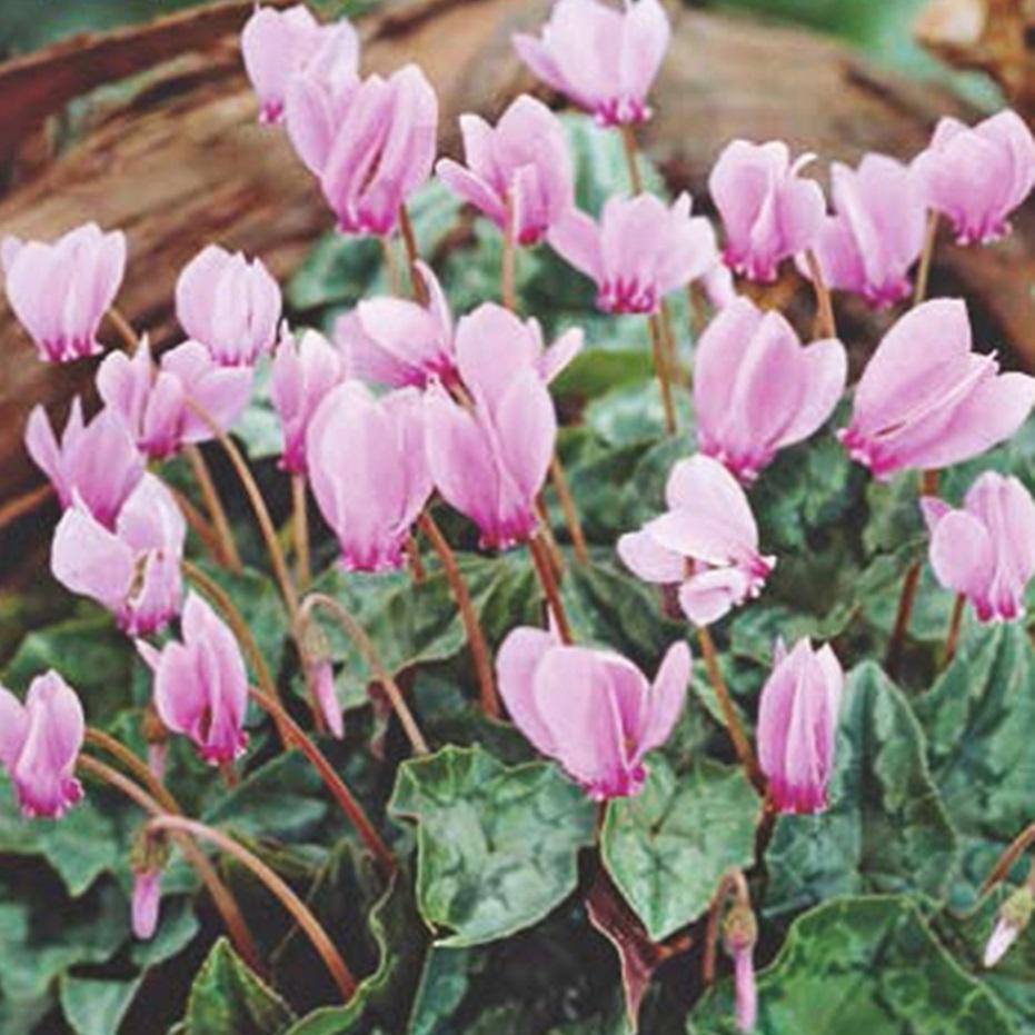 piante per piccoli vasi - Ciclamino hederifolium