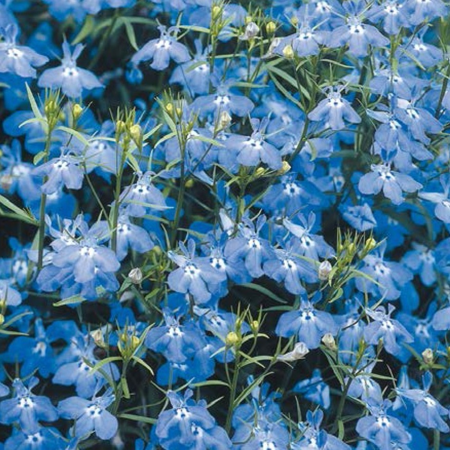 piante per piccoli vasi - Lobelia nana blu