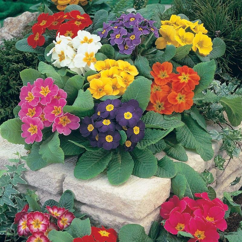 piante per piccoli vasi - Primula dei giardini