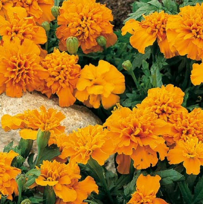 piante per piccoli vasi - Tagete nana arancio