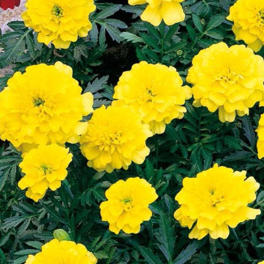 piante per piccoli vasi - Tagete nana gialla