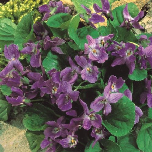 piante per piccoli vasi - Viola mammola violetto