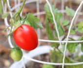 Coltivazione dei pomodori sul terrazzo