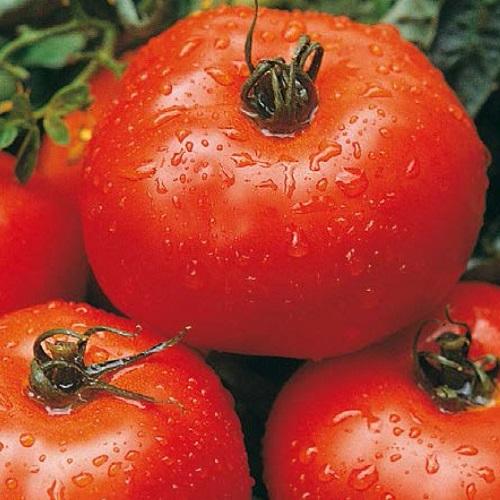 Coltivazione dei pomodori sul terrazzo - Pomodoro Ace 55