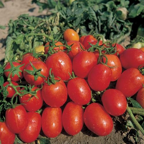 Coltivazione dei pomodori sul terrazzo - Pomodoro Rio Grande